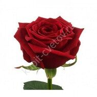 Red Rose 70 cm imports