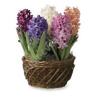 Potted hyacinths in a basket