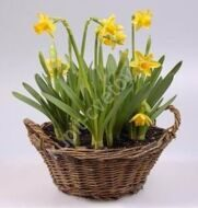 Potted daffodils in a basket