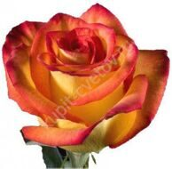 Yellow-red rose import