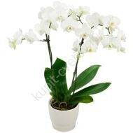 Arrangement with a potted phalaenopsis
