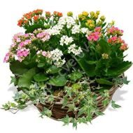 Arrangement of  Kalanchoe mix