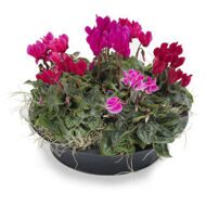 Arrangement of cyclamens
