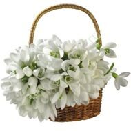 Basket of snowdrops