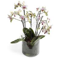 Pink orchid phalaenopsis with a pot