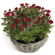 Red potted roses in pots