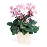 Pink cyclamen with a pot