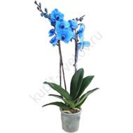 Blue halaenopsis with 2 stalks