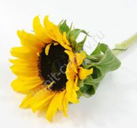 Sunflower (geliantus)