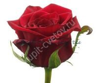 Red Rose 50 cm