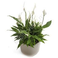 Spathiphyllum in office
