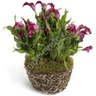 Pink calla lilies in a pot