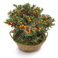 Solanum with a pot