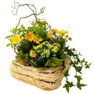 Arrangement of potted chrysanthemums and kalanchoe