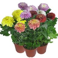 Chrysanthemum in a pot