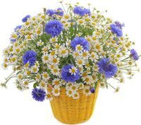 Bouquet of field daisies and cornflowers