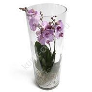 Phalaenopsis in a tube