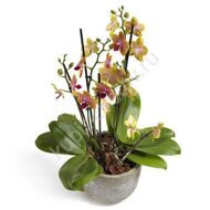 Yellow phalaenopsis orchid with a pot