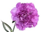Purple (lilac) Carnation moon light