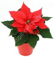 Christmas Star (Poinsettia) Mini