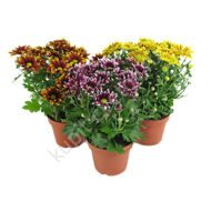 Potted mini chrysanthemum