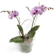 Lilac orchid phalaenopsis with a pot