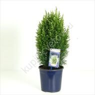 Snow White Cypress  12 cm