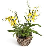 Oncidium orchid with a pot