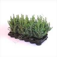Picea conica mini