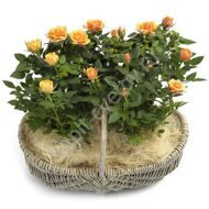 Potted roses in a basket