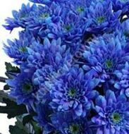 Bush blue chrysanthemum