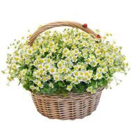 Basket of field daisies