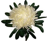 Chrysanthemum Deco