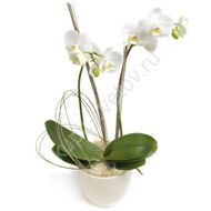 White phalaenopsis orchid with a pot